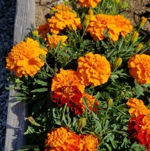 French Marigold seeds - seeds from 100 flowers